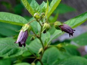 How to Manifest Positive Energy Deadly Nightshade